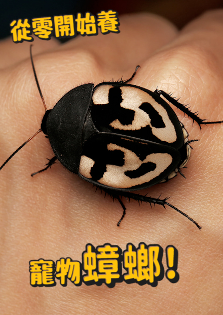 【從零開始養】蟑螂篇!存在超過億年,令人聞之色變的生物!!全世界最重的蟑螂長什麼樣子?【許伯簡芝】Cockroach