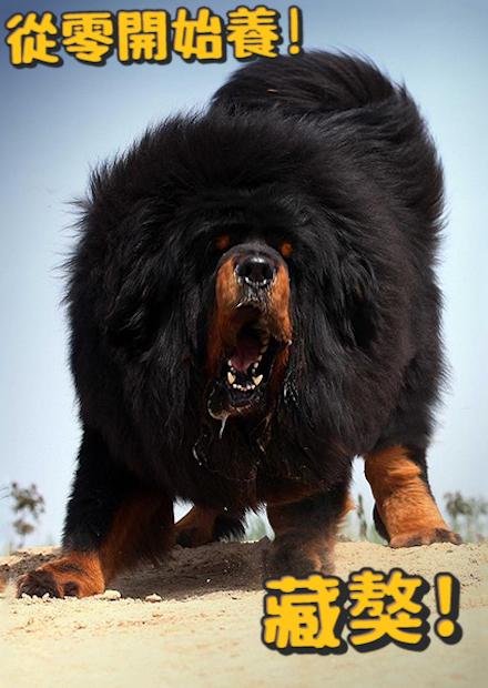 【從零開始養】藏獒篇!世上最凶猛的狗之一!今天卻遇到特別溫馴的?Tibetan Mastiff
