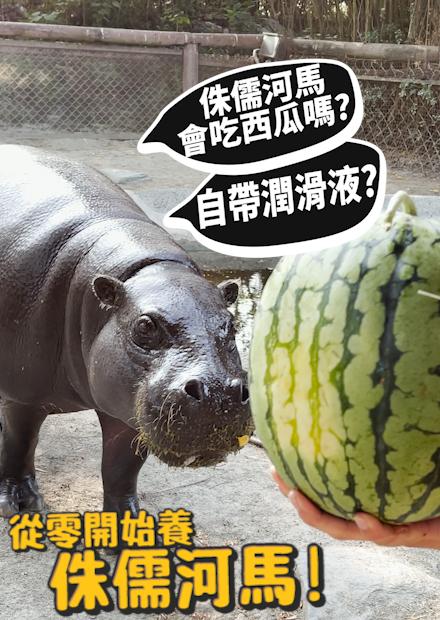 【從零開始養】侏儒河馬!自帶潤滑液的動物?會吃西瓜嗎!?【許伯簡芝】