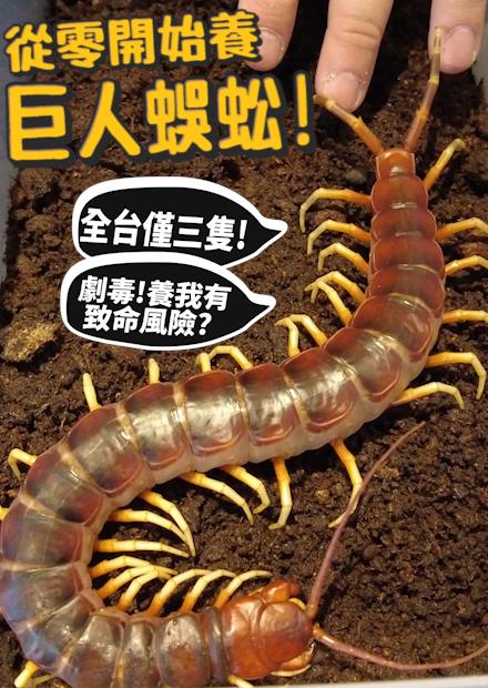 【從零開始養】蜈蚣!劇毒!!養我有致命風險?全台僅有三隻的稀有蜈蚣【許伯簡芝】