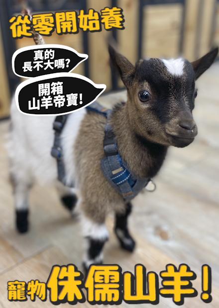 【從零開始養】侏儒山羊!真的長不大嗎??開箱山羊豪宅!!【許伯簡芝】